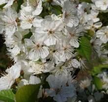 Квітуча весна на вулиці Корольова